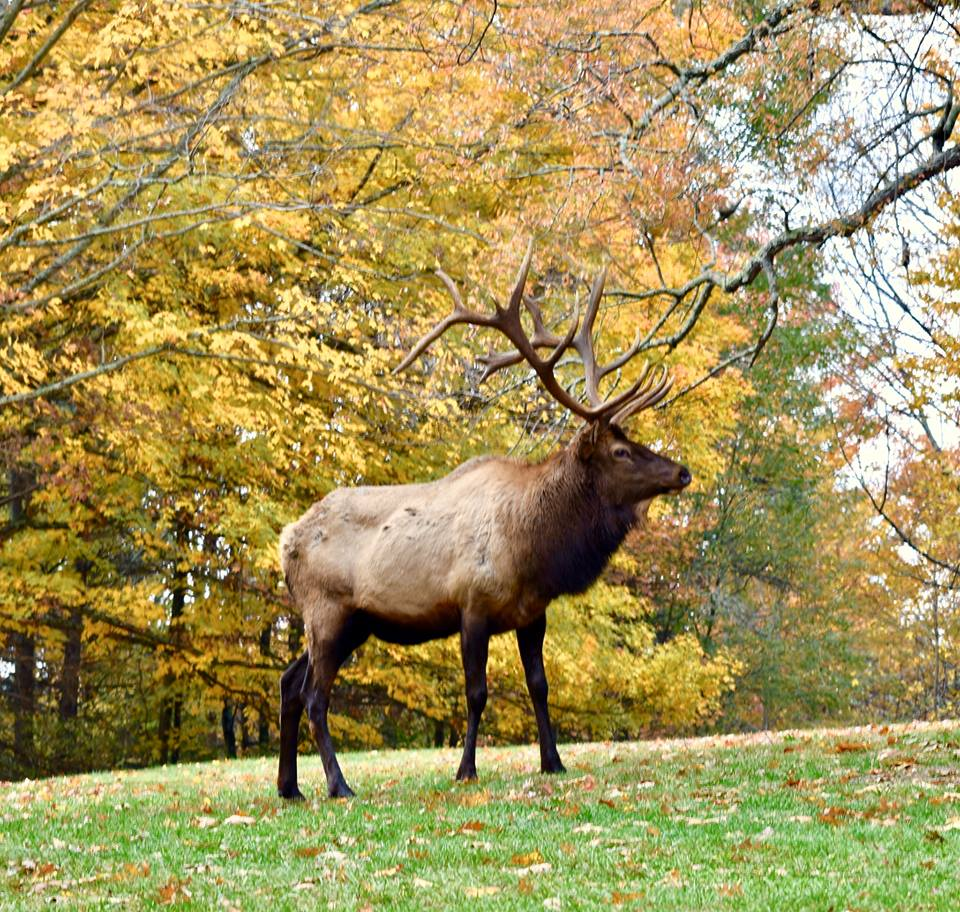 See Elk Grazing On Our Beautiful Camp Lots In Benezette Pa