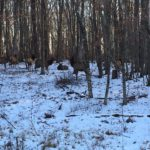 7-elk-on-one-of-our-wooded-lots-by-jason-wolford