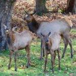 mother-elk-twin-fawns-eating-apples-gary-hennen
